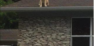 【ニュース】犬が屋根の上に?!「あー 知ってる知ってる」