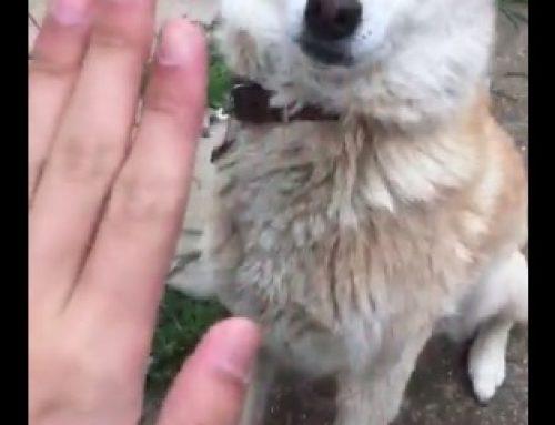 【動画】フルスイングでお手を空振りする犬