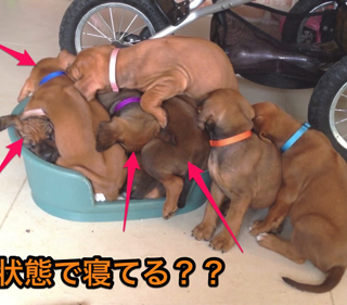 【動画】仔犬ホイホイ
