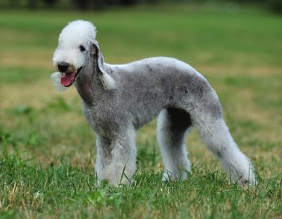Bedlington Terrier1