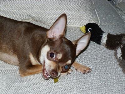 Chihuahuawan
