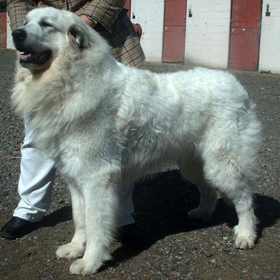 Pyrenean Mountain Dog 600