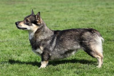 【犬種】この犬種知ってる?世界の珍しい犬種9種