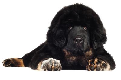 Tibetan Mastiff1