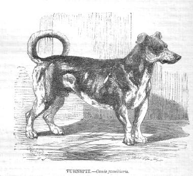Turnspitdog 1862
