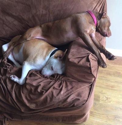 Comfy pitbulls 2