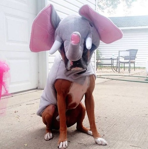 Elephant boxer
