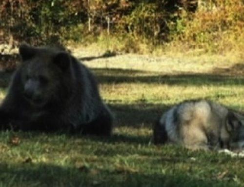 【動画】オオカミとクマが出会った〜