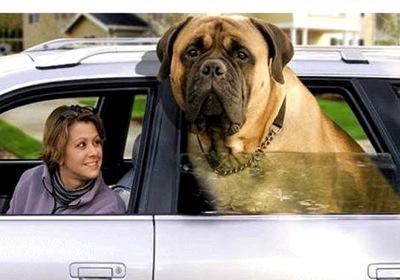 Giant English Mastiff