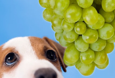 Jiu rf photo of sad dog and grapes