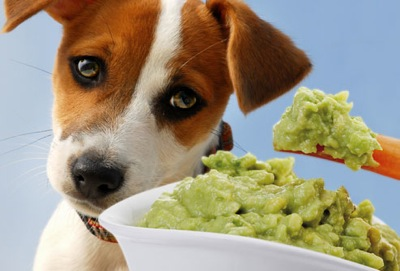 Photolibrary rf photo of sad dog and guacamole