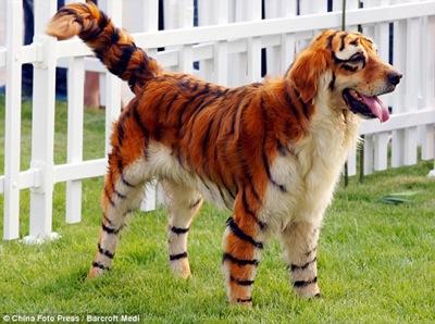 Tigerdog 530